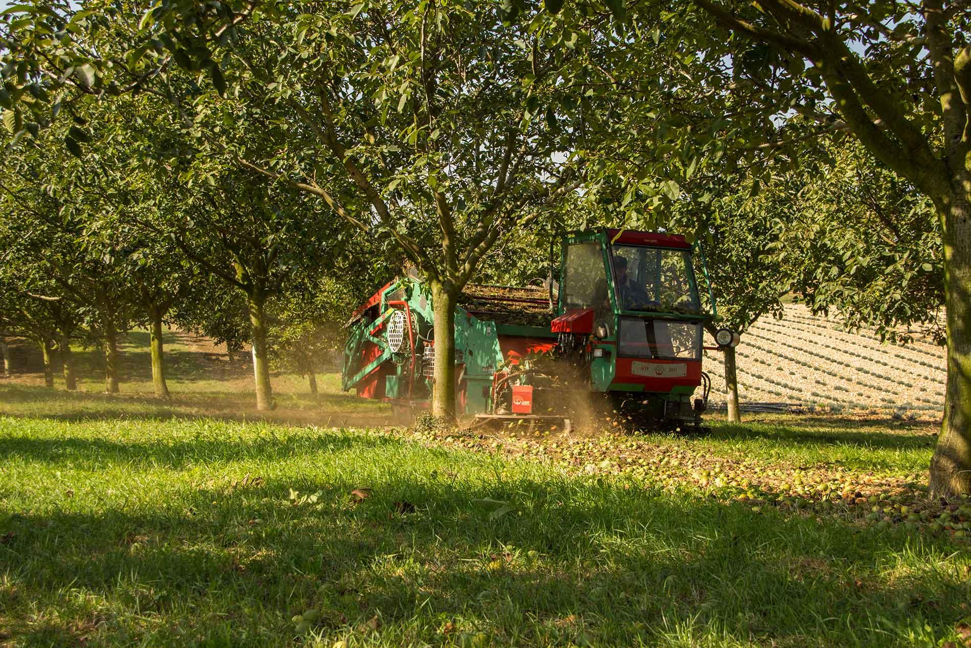 Ramassage de noix de Grenoble dans la Drôme
