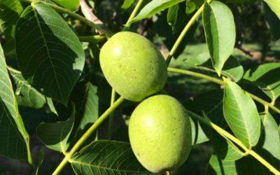 Recette de la confiture de noix vertes