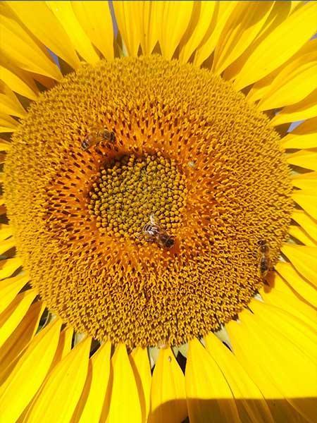Fleur de tournesol avec abeilles