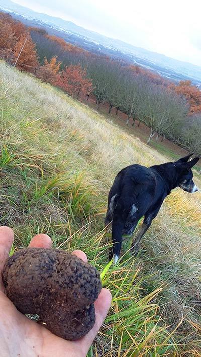 Truffes noires, récoltées entre novembre et février.